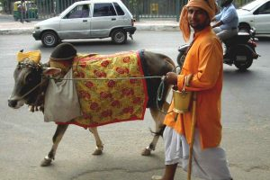 Cow_on_Delhi_street
