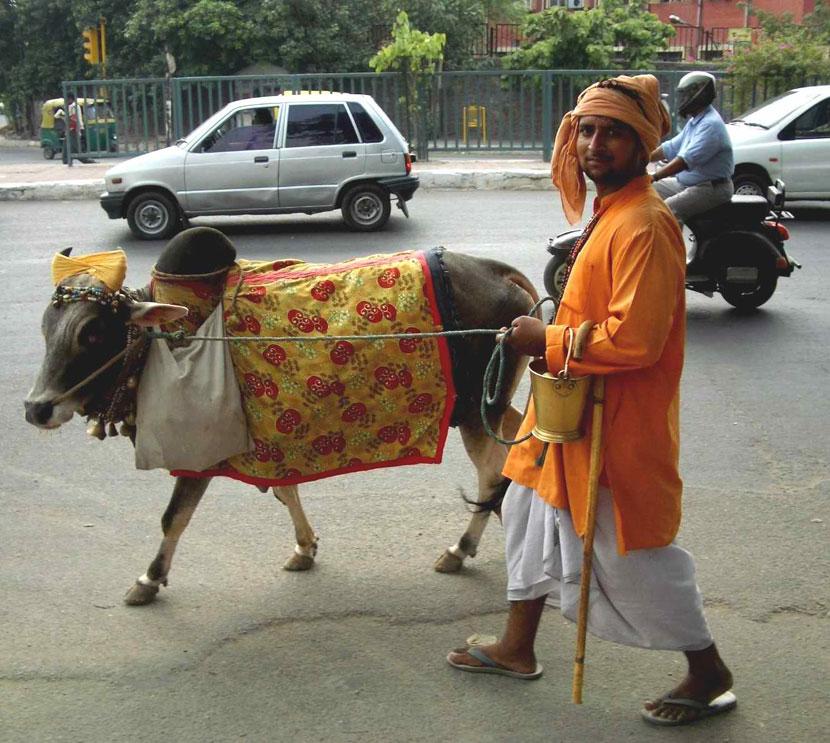 Cow_on_Delhi_street
