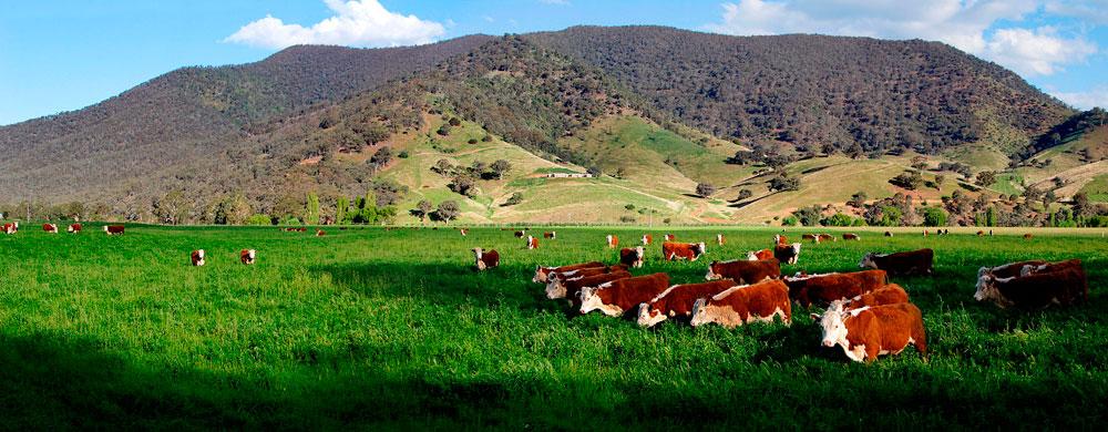 herd-of-cattle